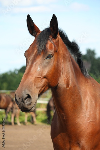 Beautiful bay horse portrait
