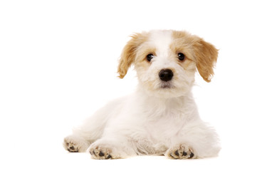 Puppy laid isolated on a white background