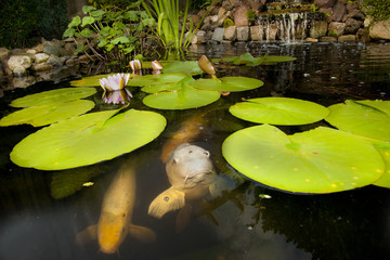 Pond with water lily and fish