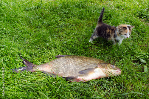 huge bream lake fish catch little tabby kitten
