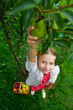 Orchard - lovely girl picking ripe pears