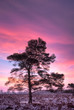 Pine on heath in winter at sunrise under a pink sky