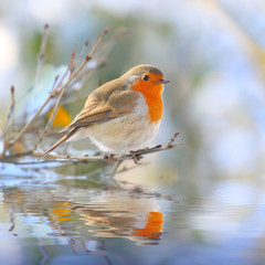 The European Robin (Erithacus rubecula).