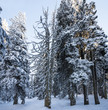 snow covered forest - winter time