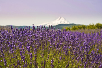 Lavender Valley and Mount Hood at Hood River, Oregon