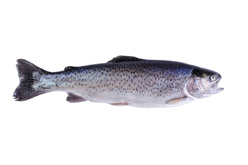 Fish trout, isolated over white