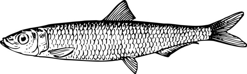 Fish clupeonella