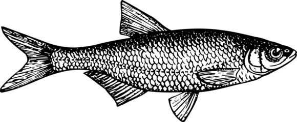 Fish alburnus