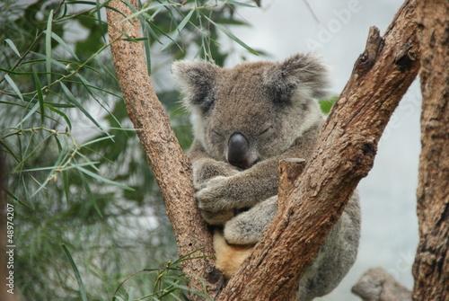 Fotobehang Koala Koala