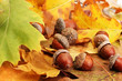 brown acorns on autumn leaves, close up