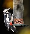 Great Spotted Woodpecker on bird feeder