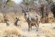 Greater kudu bull (Tragelaphus strepsiceros) with calves