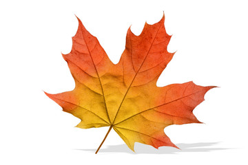 Ahornblatt isoliert, Herbst
