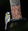 Great Tit on a bird feeder