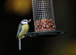 Blue Tit on a bird feeder