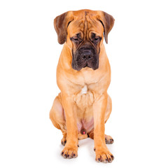 red puppy bullmastiff