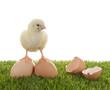 Küken steht auf Hühnereiern – frisch geschlüpft