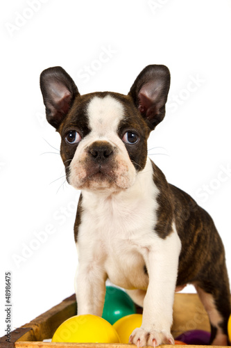 Boston terrier puppy play