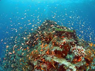 Anthias on reef top 2