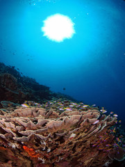 Anthias and cabbage coral