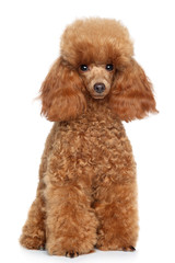 Toy Poodle puppy on a white background