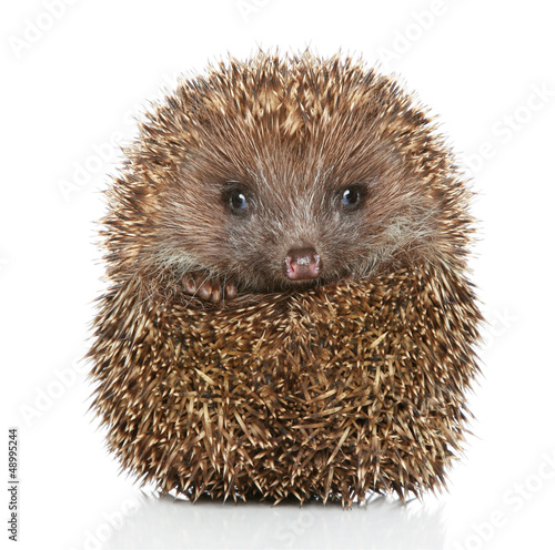Young Hedgehog in front of white background