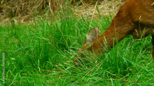 Doe eating green grass in the meadow. Close-up shot.