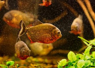 Red piranha (Serrasalmus nattereri) swimming underwater