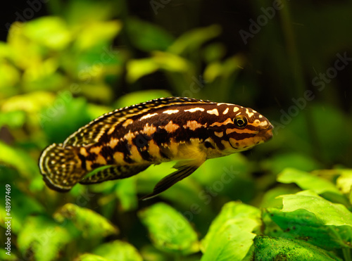 Lepidiolamprologus fish swimming underwater