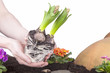 Studioaufnahme- Gartenarbeit - Hyazinthen einpflanzen