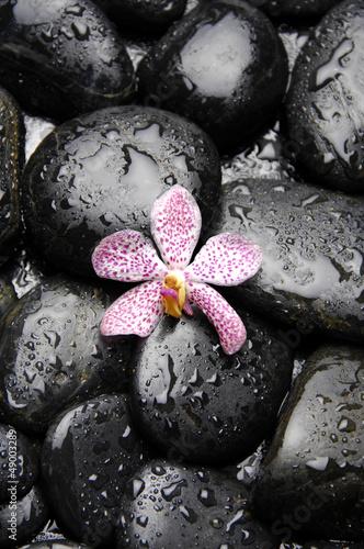 rozowa-orchidea-na-otoczaku-w-wodnych-kroplach