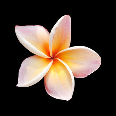 Plumeria flower isolated on black background with clipping path