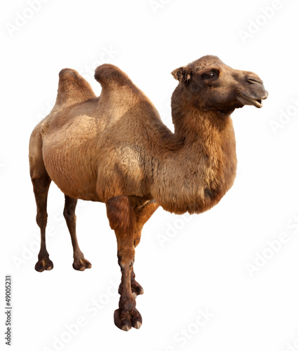Fotobehang Kameel bactrian camel. Isolated on white