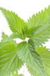 Brennessel (urtica dioica) Pflanze auf weiß von oben