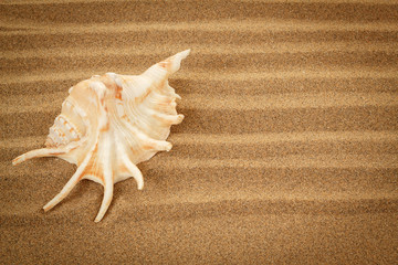 seashell with sand as background