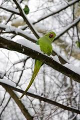 perruche à collier en hiver, forêt de France