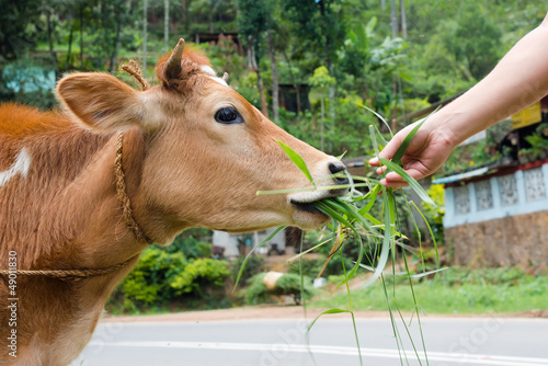 Cow is fed grass from hand outdoor
