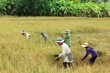 Thailand Rice harvest