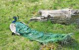 Fototapeta zielony - bażant - Ptak