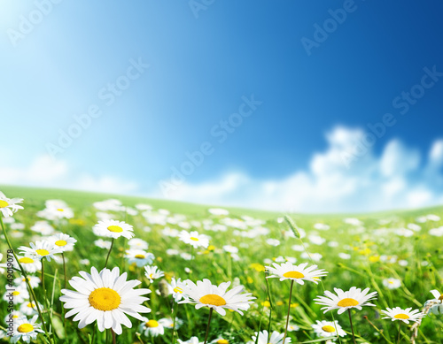field of daisy flowers