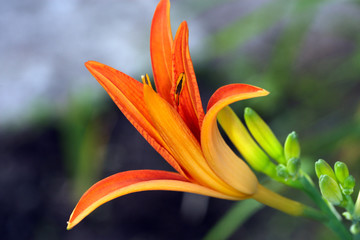 Day lily bud