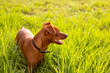brown Dog mini pinscher in a green meadow