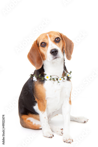 beagle pet dog