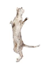Orientalisch Kurzhaar Katze springt hoch