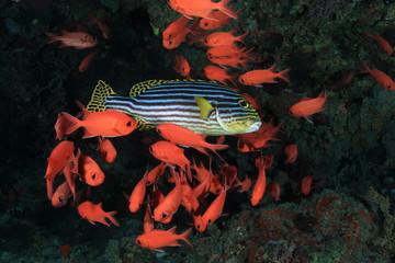 Orient Süsslippe mit Soldatenfischen