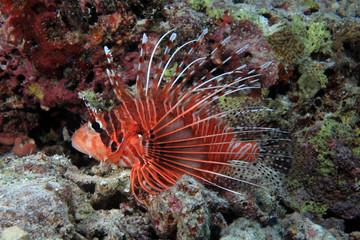 Antennenfeuerfisch (Pterois antennata)