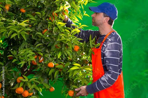 Tangerine orange farmer collecting man