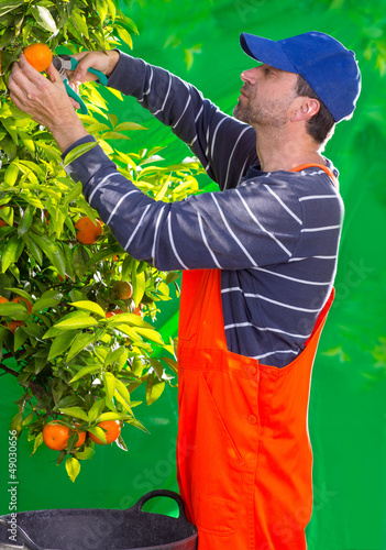 Tangerine orange farmer collecting man