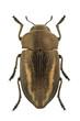 Cyphosoma lawsoniae
