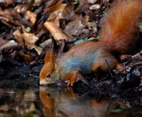 Red Squirrel drinking and reflected in water
